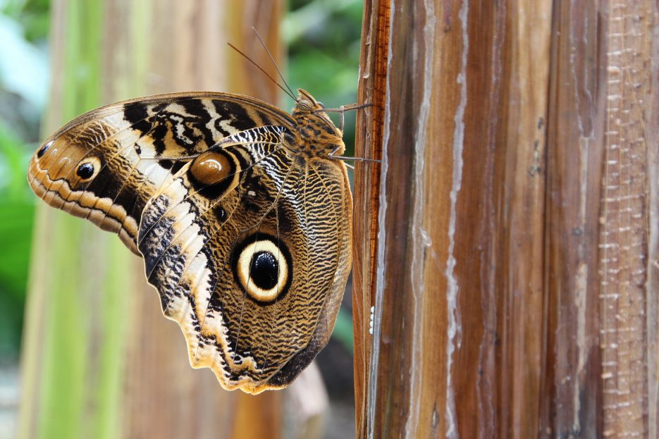 Owl butterfly is an awesome example of natural selection in animals - this trick will save this little clever fella's life a lot of times!
